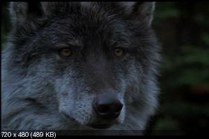 �� ���� ������ / Never Cry Wolf (1983) DVD9